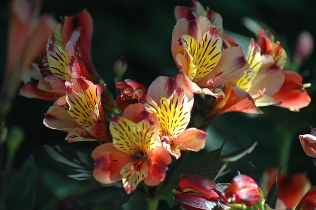 Order alstroemeria flowers uk florists